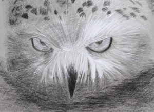 Rapaces nocturnes: Chouette Harfang (Dessin E.Mourniac)
