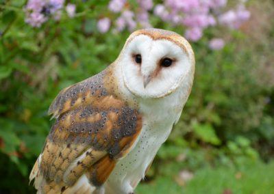 barn-owl-1208035_1920