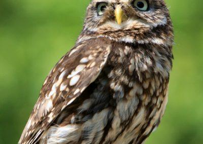 owl-77894_1920