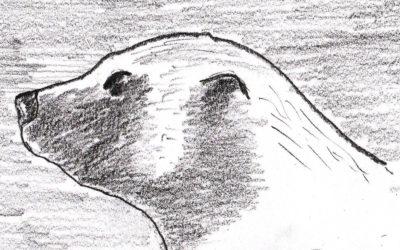 De rares images d'un glouton (ou carcajou, wolverine en anglais)